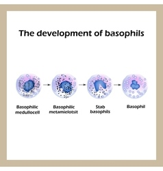 Development of basophils Infographics vector