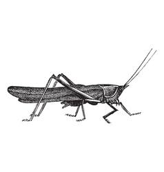 Meadow grasshopper sketch vector