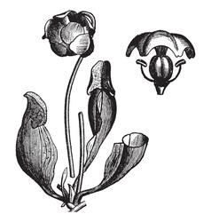 Vintage pitcher plant vector image vector image