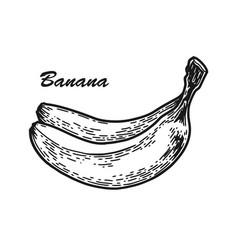 Banana sketch engraved vector