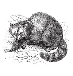 Vintage Raccoon Sketch vector image