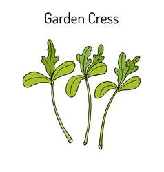 garden cress lepidium sativum or pepper grass vector image