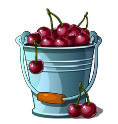 steel bucket full of ripe cherries isolated vector image vector image