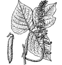 plant pueraria vector image vector image