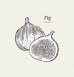 fig drawing hand drawn fruit and sliced piece vector image