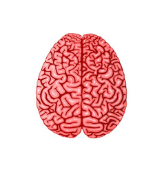 human brain anatomy realistic flat vector image