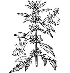 plant leonurus vector image