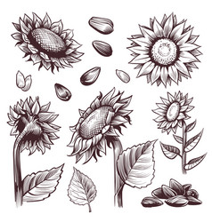 Sketch sunflowers monochrome floral wildflower vector