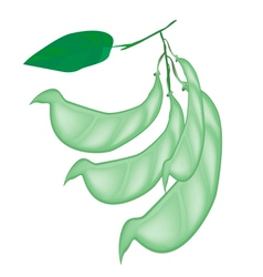 Fresh Hyacinth Bean Plant on White Background vector