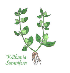 hand drawn colored bush of indian ginseng vector image