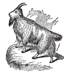 rocky mountain goat vintage vector image