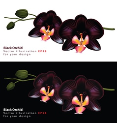black orchid background vector image vector image