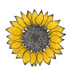 colorful yellow sketch of sunflower blossom vector image