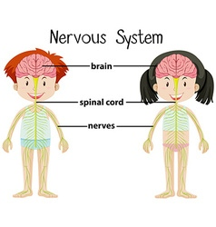 Nervous system of boy and girl vector image