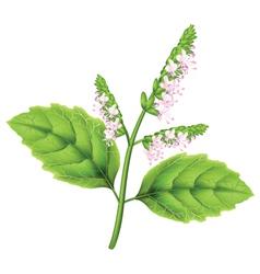 pogostemon plant vector image