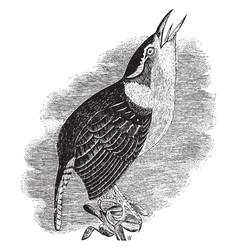 Carolina wren vintage vector