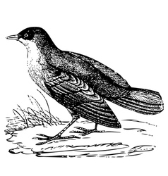 White throated Dipper engraving vector image