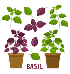 Cartoon basil plants in pot isolated on white vector