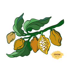 cocoa branch color vector image