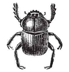 dung beetle vintage vector image