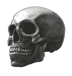 human skull in woodcut style vector image vector image