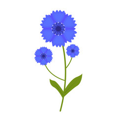 cornflower flower flat icon wildflowers plant vector image
