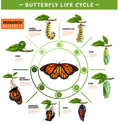 Butterfly life cycle infographics vector