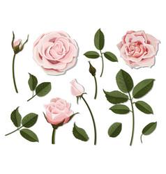 set of pink rose flower parts vector image vector image
