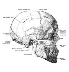 Skull from side vintage vector