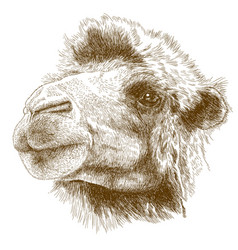 engraving drawing of camel head vector image vector image