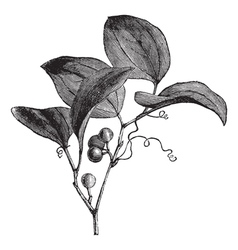 Vintage Greenbriar Sketch vector