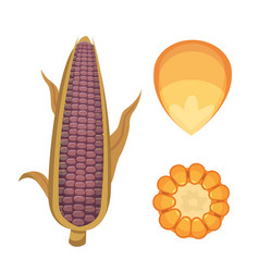 organic corn isolated on white background vector image vector image