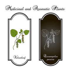 velvetleaf cissampelos pareira medicinal plant vector image