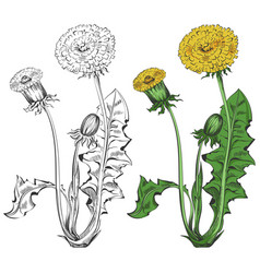 dandelion silhouette and colorful sample isolated vector image vector image