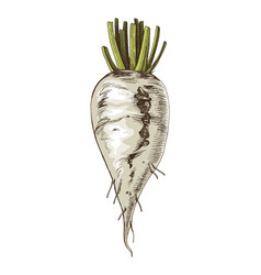 hand drawn sugar beet vector image