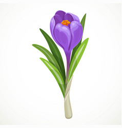 Beautiful purple crocus half open bud isolated on vector