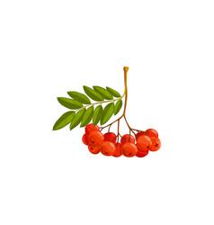 Rowan berries branch autumn fall rowanberry icon vector