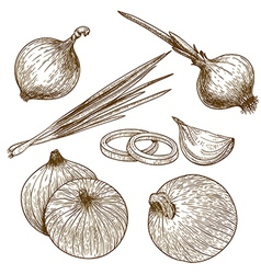 engraving onion vector image vector image