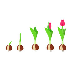 tulip growth stage plant growth and development vector image