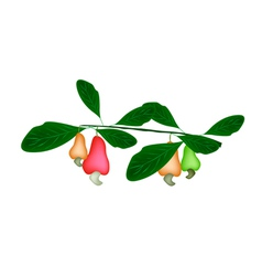 Fresh Unripe Cashew Nut on A Plant vector