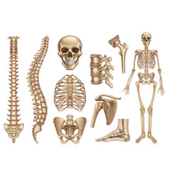 human skeleton structure skull spine rib cage vector image