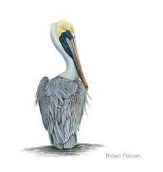 brown pelican vector image vector image