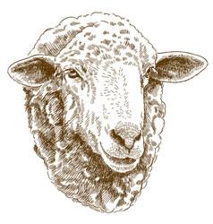 engraving drawing of sheep head vector image vector image