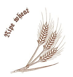 Pencil hand drawn of wheat with label ripe wheat vector