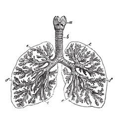 The lungs of man vintage engraving vector