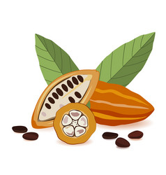 cacao fruit raw cacao beans with leaves cocoa pod vector image