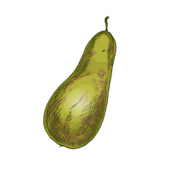 conference pear full color realistic sketch vector image