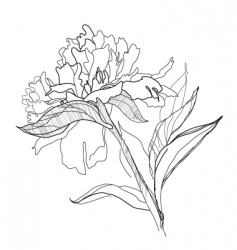 drawing peony vector image