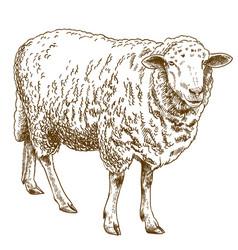 engraving drawing of sheep vector image vector image