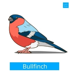 Bullfinch learn birds educational game vector image